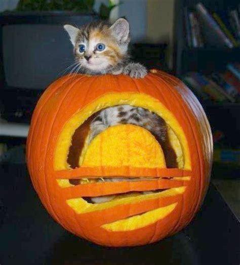 cat and pumpkin 13 killer cat pumpkins mousebreath magazine