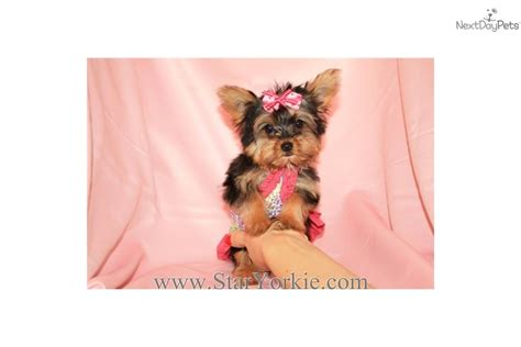 teacup yorkies for sale in las vegas terrier yorkie puppy for sale near los angeles california 4faa8491 ced1