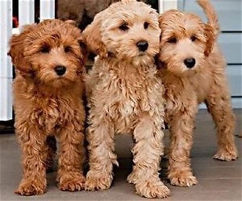 Goldendoodle Puppies For Sale In Sunnyes Goldendoodles