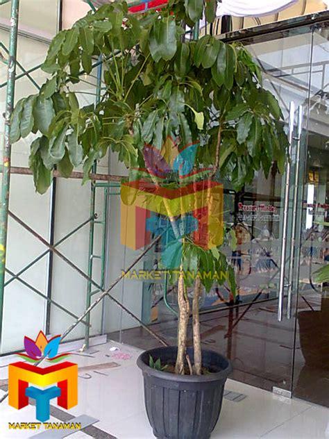 jual pohon walisongo jual pohon peneduh  pelindung