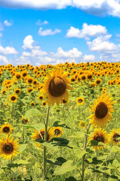 sunflower field off route 15 in northern new jersey near sparta the sunflower field unskinny boppy