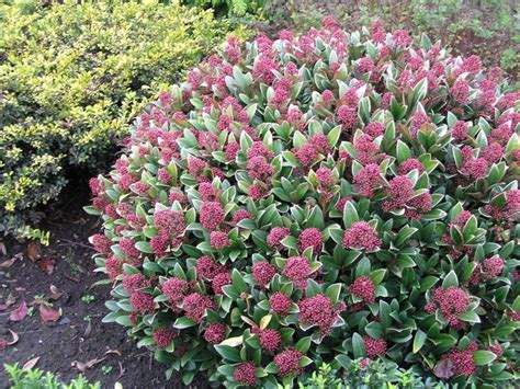 flowering evergreen shrubs for shade skimmia japonica quot rubella quot a great evergreen shrub for