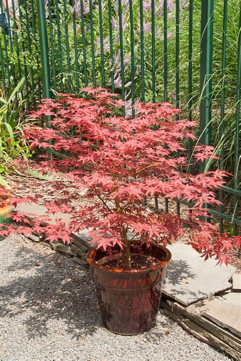 japanese maple tree in pot plant flower stock