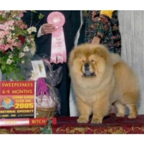 shih tzu rescue fort worth intatto chow chows chow chow breeder in fort worth