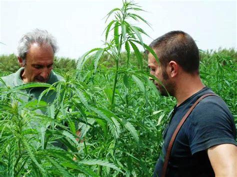 canapé sits civonline cresce la coltivazione della canapa