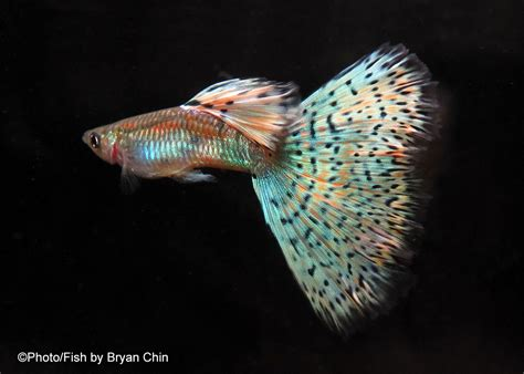 guppies colors homepage www guppywest