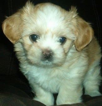 shichi puppies shichi breed pictures 1