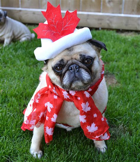 world pug day canada day pug flickr photo
