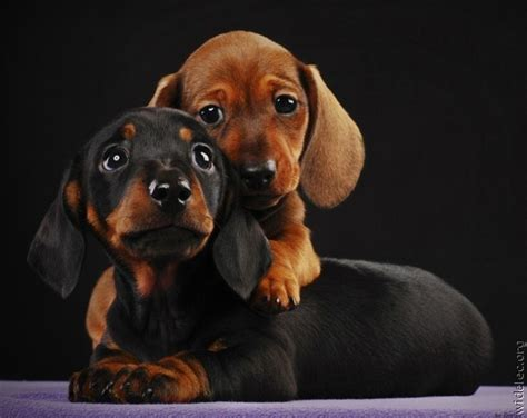 baby dachshund puppies two baby daschunds hugging i puppies and dogs baby dachshund