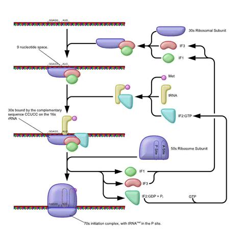 where in a eukaryotic cell does translation occur difference between prokaryotic translation and