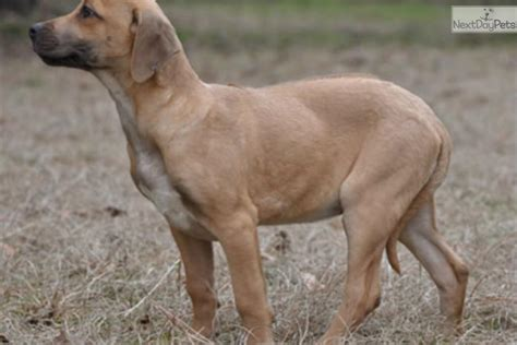 puppies for sale in shreveport la rhodesian ridgeback puppy for sale near shreveport louisiana 292c06c9 02d1