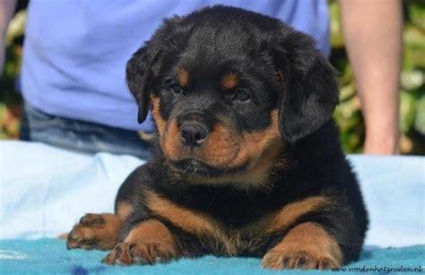 My Rottweiler Fur Baby Quot Zuko Quot Feather Fur Fins Babies P