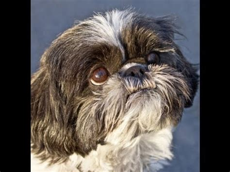 shih tzu behaviour problems nobility