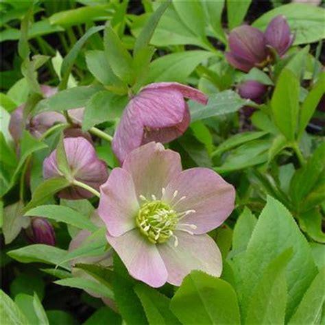 helleborus hybridus royal heritage lenten rose from