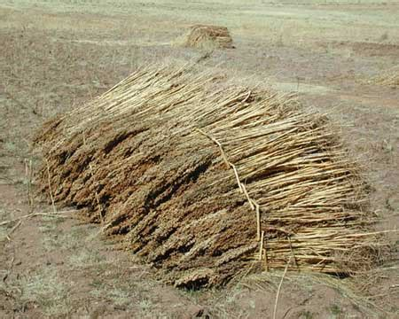 kinoa quinoa yetitiricilii bizimbahce net kinoa quinoa agaclar net