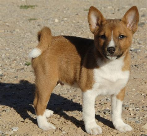 basenji breeders photograph working puppies pictures informa