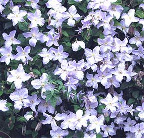 vigorous climbing plants clematis how to plant and grow clematis plants