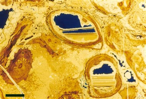Chert Thin Section by How Do We Study The Rhynie Chert