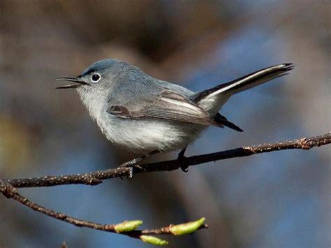 gnatcatcher blue gray chicago botanic garden