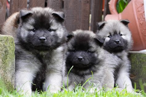 eurasier puppies eurasier chow chow samoyed keeshond mix info temperament puppies pictures