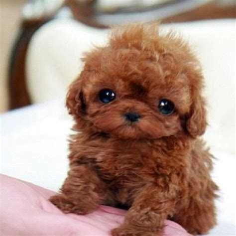 teacup teddy puppies for sale maltipoo puppies for sale 2017 2018 best cars reviews