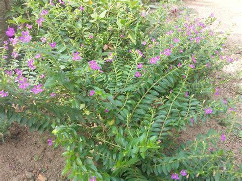 jual bibit tanaman hias bunga taiwan beauty ungu  lapak