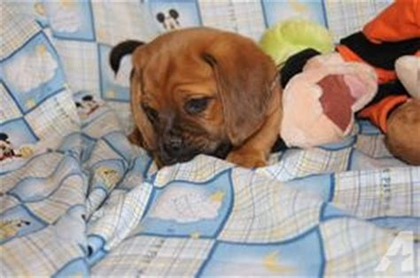 puppies for sale utica ny puggle puppies in ny for sale in utica new york classified americanlisted