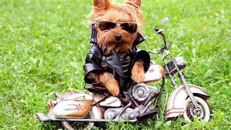 all wallpapers funny dogs wallpapers funny dog on the motorcycle wallpaper hd 6517 wallpaper