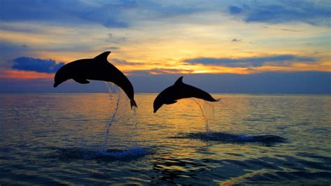 Sprei Sea Dolphine silhouette dolphins dolphins sea jump spray water the pair