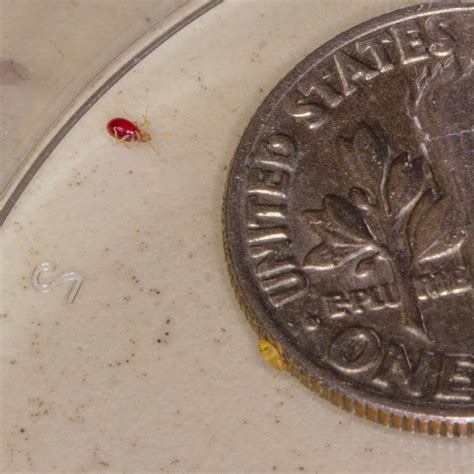 bed bug size comparison baby bed bug comparison of size fully fed versus empty