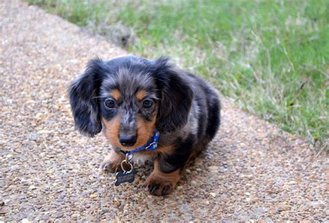 mini dachshund puppy cutest miniature dachshund puppy cuteness miniature