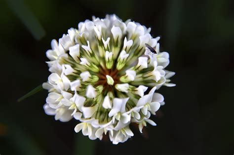 flower pic file clover flower macro virginia forestwander jpg