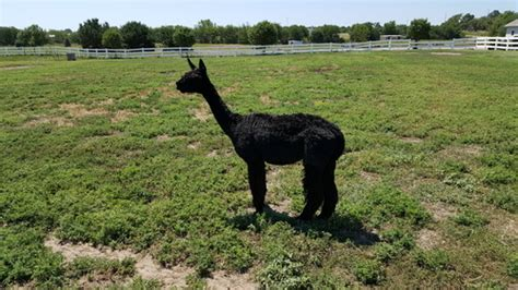 alpaca farm located in geneva nebraska owned by joe