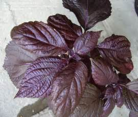 Foliage House Plants Identification - plant identification closed purple leaf licorice smell 1 by mygardens