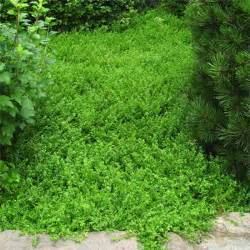 low fast growing ground cover pic2fly low growing sedum memes