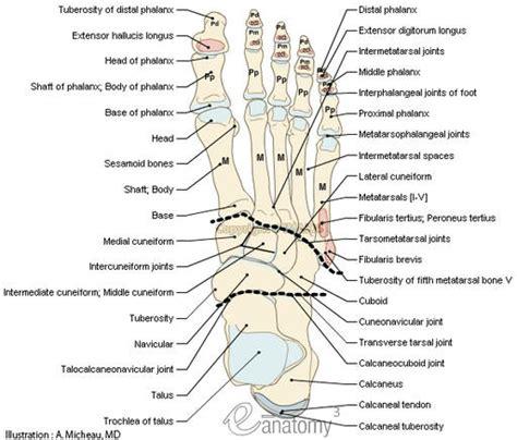 diagram of the foot bones foot bone anatomy chart human anatomy system