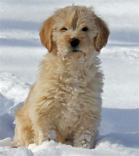 golden retriever poodle puppies golden retriever labrador retriever poodle mix i want a