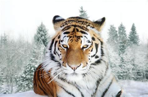 imagenes google tigres felinos salvajes on pinterest planets and sons