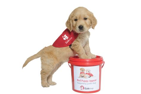 new puppy guide the new zealand blind foundation s puppy appeal march 27 28 mindfood
