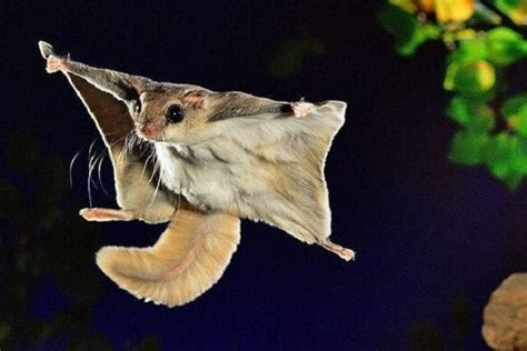 scogliattolo volante scoiattolo volante giapponese idee green
