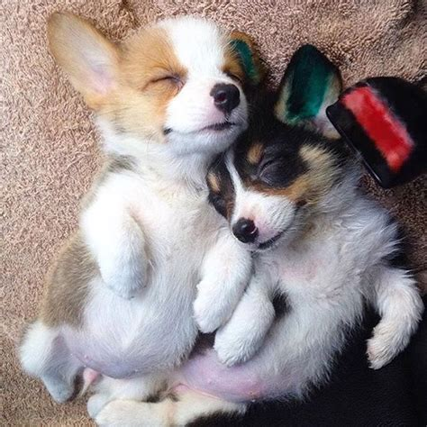 pictures of corgi puppies corgi puppies will make your day awesome erefinery