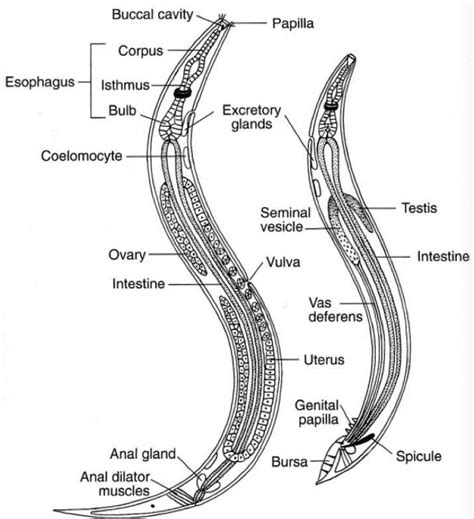 diagram of nematode pin by simmons on phylum nematode