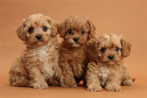 breed height small mixed breed pictures animals breeders puppies breeds picture