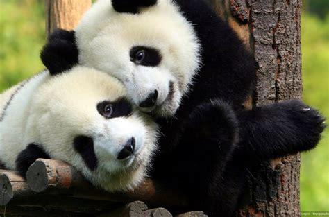 oso panda oso panda 0805087567 la conciencia de los animales sobre su entorno avisa