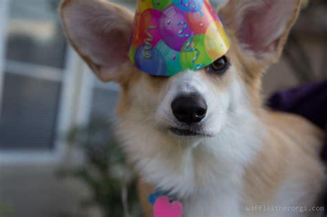 puppy s birthday hat animals puppy birthday corgi hats waffles wearing wafflesthecorgi