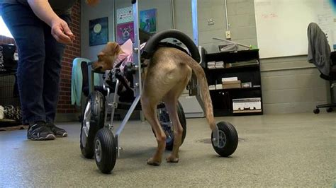 wheelchair for front legs born with no front legs gets wheelchair wxyz