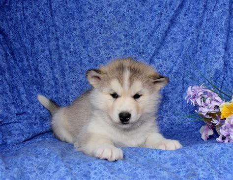 craigslist husky puppies craigslist miniature breeds breeds picture