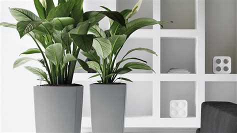 house plants no light executive office artificial plants yucca plant in a square white pot office furniture yucca