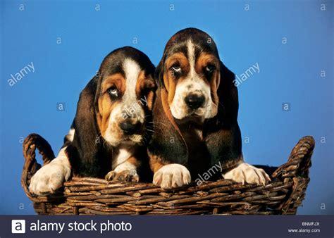 basset hound puppies oklahoma basset pups basset hound puppies hush puppies puppy pet basset stock photo