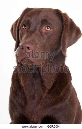 chocolate lab puppies maine chocolate labrador retriever stock photos chocolate labrador retriever